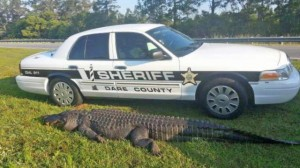 800 Pound Alligator hit and killed on Highway 64 near Outer Banks (Photo courtesy of WAVY)