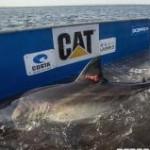 Katherine the Great White Shark Off NC Coast
